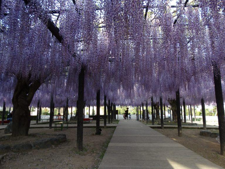 wisteria iwata