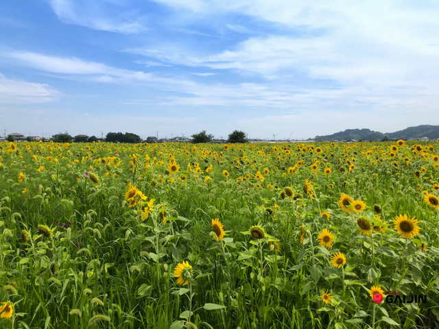 sunflowr fields japan