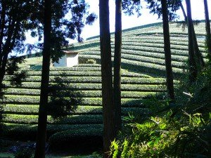 shimada-teafields