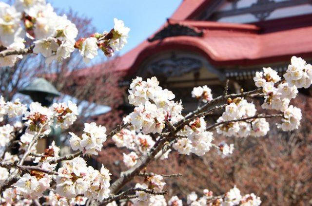 kwitnienie wisni japonia 2020
