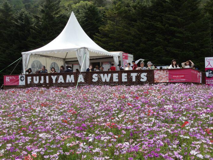shibazakura festival