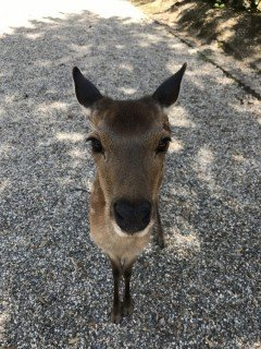 nara jelenie