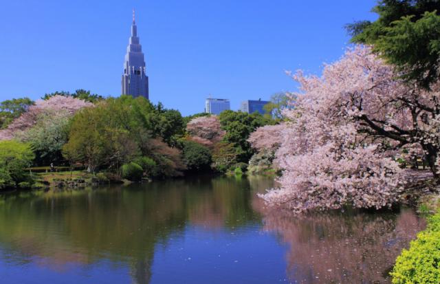 kwitnienie wisni japonia