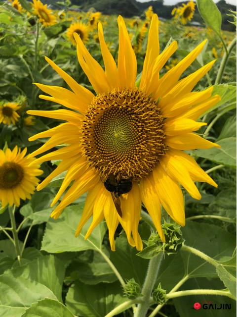 sunflower japan