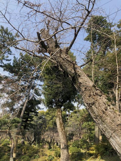 sukkeien drzewo które przetrwało wybuch bomby atomowej