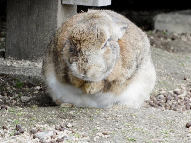 okunoshima japońska wyspa królików