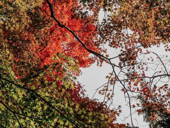 jesienne liście japonia